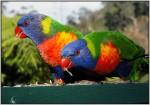 DSC00815w.JPG - Rainbow Lorikeet