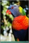 DSC00820w.JPG - Rainbow Lorikeet