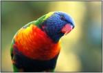 DSC01078w.JPG - Rainbow Lorikeet