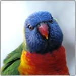 DSC01088w.JPG - Rainbow Lorikeet