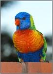 DSC01105w.JPG - Rainbow Lorikeet