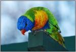 DSC01115w.JPG - Rainbow Lorikeet