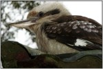 DSC15519w.JPG - The Laughing Kookaburra