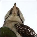 DSC15520w.JPG - The Laughing Kookaburra
