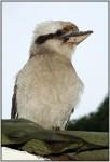 DSC15522w.JPG - The Laughing Kookaburra