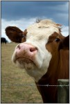 Highlight for Album: Cows